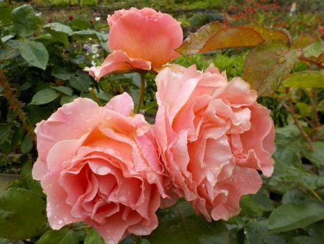 Rose 'Miami Moon'
