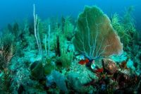 Soft corals and Gorgonians (Sea fan)