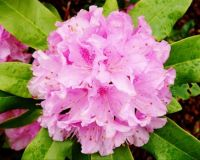 The Rhodies are in Bloom