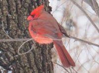 Cardinal in the Elm Tree