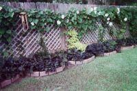 Moonflowers and Black Potato Vines