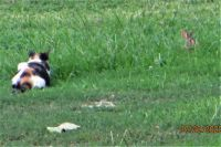Cat stalking rabbit