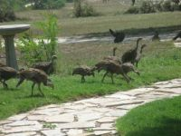A Visit From Wild Turkeys
