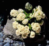 White Kalanchoe in Pumice Planter on Rocks