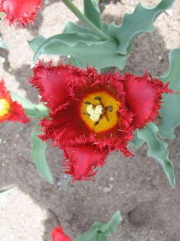 bermuda tulip