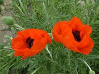 2 poppies in a garden - puzzle with many pieces!