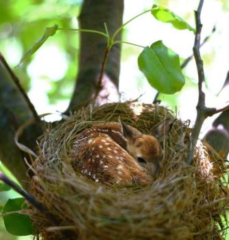 A fawn in its nest