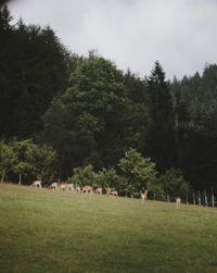 herd-of-deers-on-a-pasture-picjumbo-com (1)