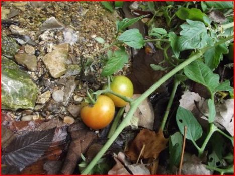 Tomatoes growing wild by the creek