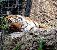 San Diego Zoo - Tiger
