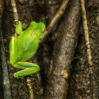 Green Goddess - White Lipped Tree Frog