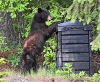 Bear pushing over composter