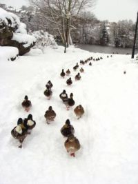 The March of the Hungry Ducks