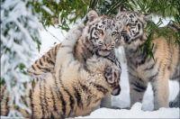 Three Tigresses Having Fun