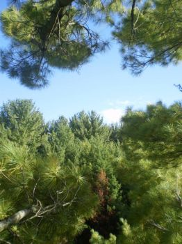 View from a White Pine