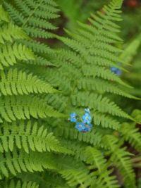 Forget-me-not pushing through fern leaf