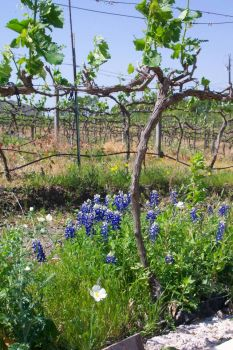 Spring at a Texas Vinyard