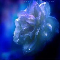misty blue rose