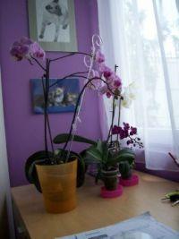 orchideje- taky pro Ivu
