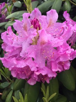 Rhododendron in bloom after the rain