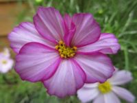 Cosmos or Cosmea with a 'frown' ☺