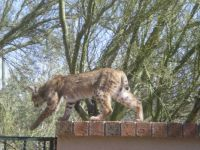 Bobcat on the rooftop