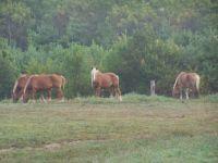Horses in Iowa