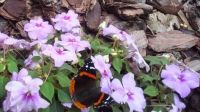 Red Admiral butterfly on impatiens