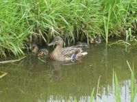 Mother Mallard duck, with 5 ducklings