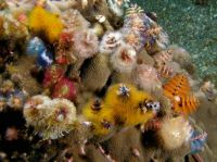 Christmas_tree_worms