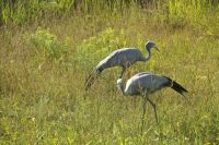 Blue Crane - Native to Africa