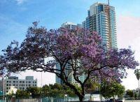 Downtown San Diego - Jacaranda