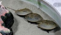 Horseshoe Crabs All in A Row