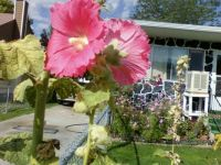 Hollyhocks with more Pieces