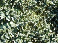 Thistle leaves