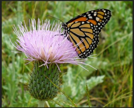 butterfly on milk thistle!!!