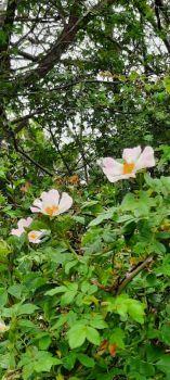 Wild rose bush / Dune rose bush