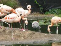 Zoo #8 -- Flamingos