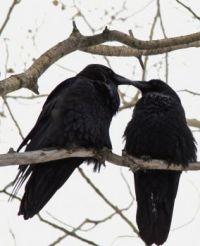 Pair of Lovebird Ravens - Fort McMurray