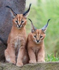 Two Caracal wild cats