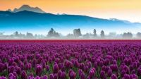 Tulip fields, 5