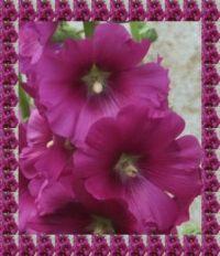 Slézové růže...  Mallow roses ...