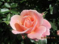 Rose of Capri Italy