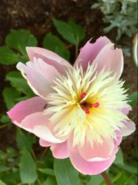 Mother's Day Peony has bloomed