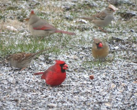 Three Cardinals & Two Sparrows