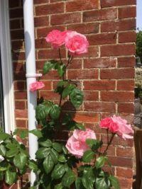Roses in the corner