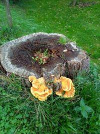 2020-10-03 herfst paddenstoelen Koedijk_102708