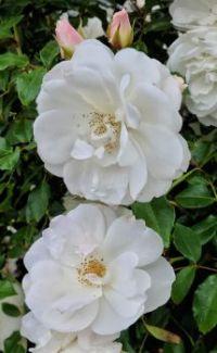 Stacked White Roses