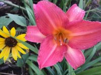 Dorothy Lambert Daylily and friend