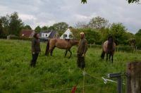 Sorraia horses